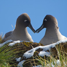 521 Light-mantled Sooty Albatross--Fortuna Bay--South Georgia Island