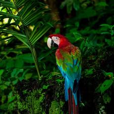 1217 Green-Winged Macaw--Jungle--Guyana