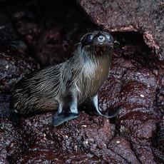 616 Sea Lion Baby--Rabida Island