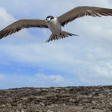 529 Sooty Tern--Colony--Ascension Island