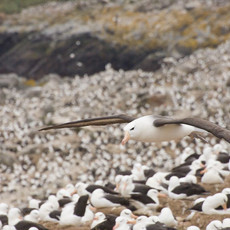 515 Black-browed Albatross--Steeple Jason Colony