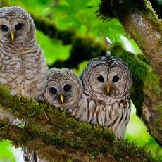 1432 Barred Owl--Bainbridge Island--Washington State