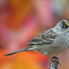1515 Golden-crowned Sparrow--Autumn Garden