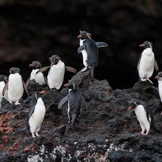 208 Eastern Rockhopper Penguin--Musgrave Harbor--Auckland Island