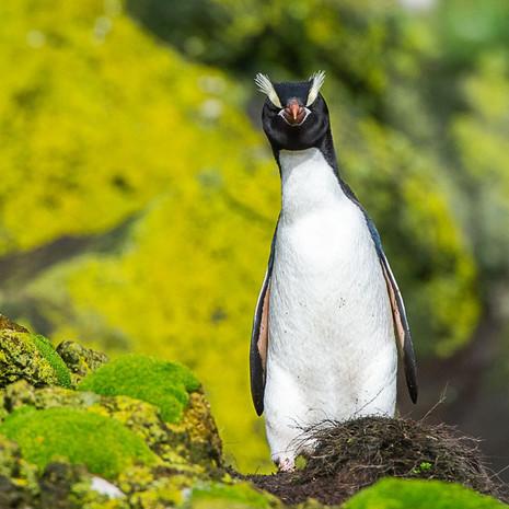 233 Erect-crested Penguin--Antipodes Islands--New Zealand