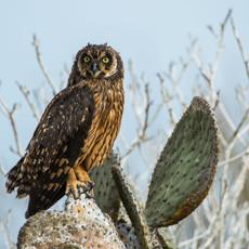1018 Short-eared Owl--Genovesa Island