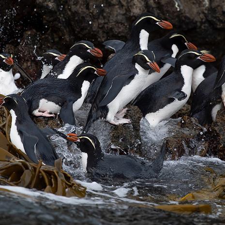 226 Snares Crested Penguin--Snares Island