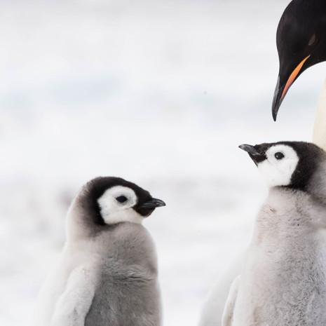 101 Emperor Penguins--2 Chicks 1 Parent--Snow Hill
