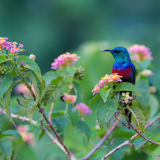 1127 Red-chested Sunbird--Entebbe--Uganda