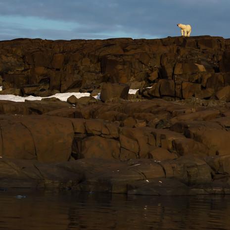 1916 Polar Bear--Mother on Cliff--Svalbard