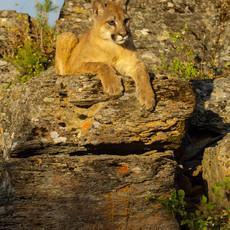 1430 Mountain Lion--Glacier National Park--Montana
