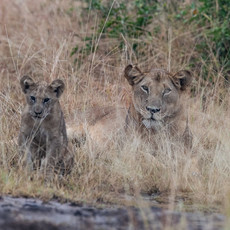 1102 African Lion--Mother and Kitten--Mweya--Uganda