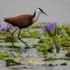 1122 Jacana with Lilies--Mbama Swamp--Uganda