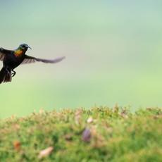 1108 Bronze Sunbird--Aerial Dance 2--Kibale--Uganda