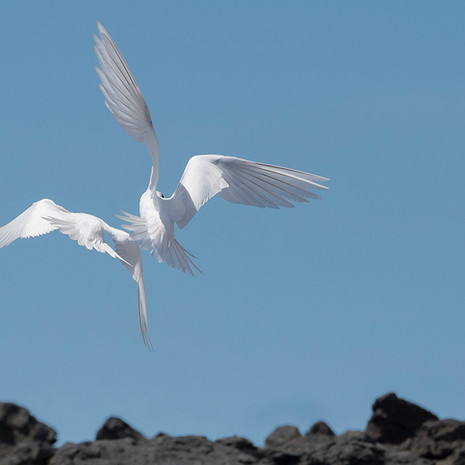 532 Fairy Tern--Tumbling--North East Point--Ascension