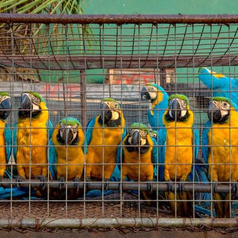 1224 Macaws as Merchandise--Guyana