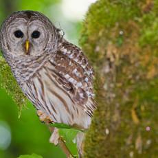 1431 Barred Owl--Bainbridge-Island--Washington State