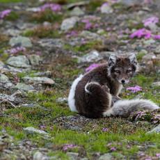 1918 Arctic Fox--Moss Campion--Svalbard