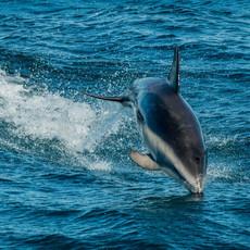 602 Dusky Dolphin--Beagle Channel
