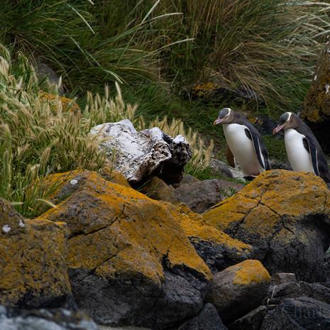 238 Yellow-eyed Penguin--Otago Peninsula--New Zealand