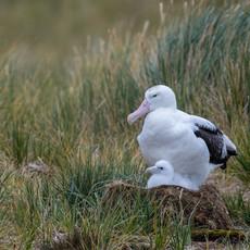 518 Wandering Albatross--Chick--Prion Island