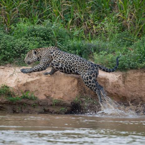 810 Jaguar--River Leap--Pantanal Brazil