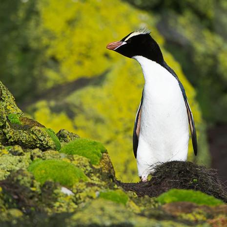 234 Erect-crested Penguin--Antipodes Islands--New Zealand