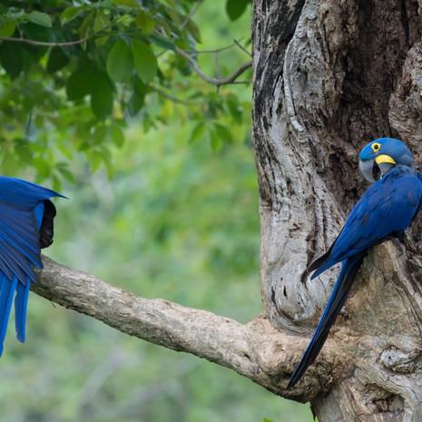 1222 Hyacinth Macaw--Nesting Pair--Pantanal--Brazil