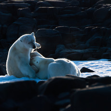 1915 Polar Bear--Mother Nursing--Svalbard