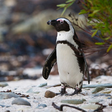 420 African Penguin--Robben Island--Sout