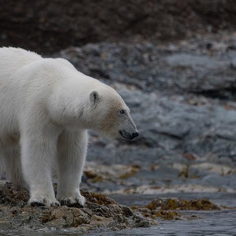 1901 Polar Bear--Mother Approaching--Svalbard
