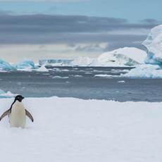 911 Adelie Penguin--Welcome to My World--Antarctica