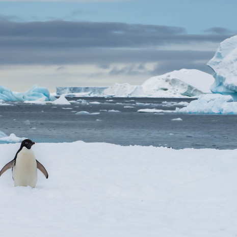911 Adelie Penguin--Welcome to My World--Antarctica