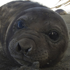 612 Southern Elephant Seal--Weaner--St. Andrew's Bay
