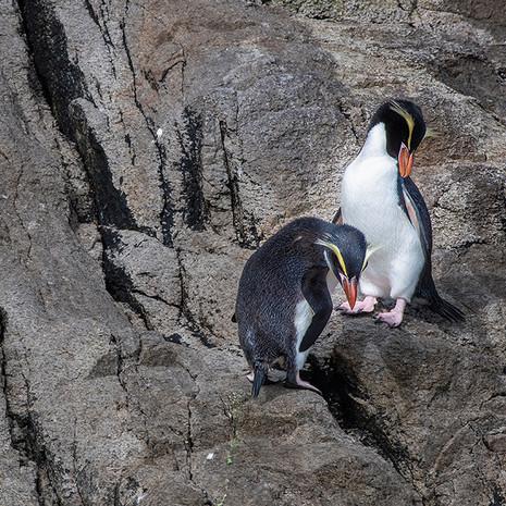 232 Snares Crested Penguin--Snares Island