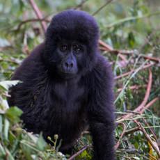 1115 Gorilla--Baby--Bwindi--Impenetrable Forest--Uganda