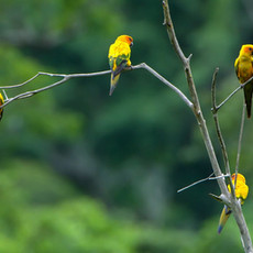 1232 Sun Conure--Discovering a Lost Species--Guyana