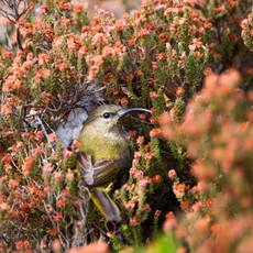 1134 Sunbird--Orange-chested--Female Nest--Protea Bloom--Kirstenbosch