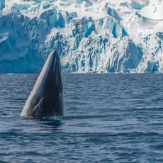 606 Minke Whale Spyhop--Paradise Bay