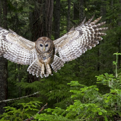 1417 Spotted Owl--Swoop--Cascade Mountains