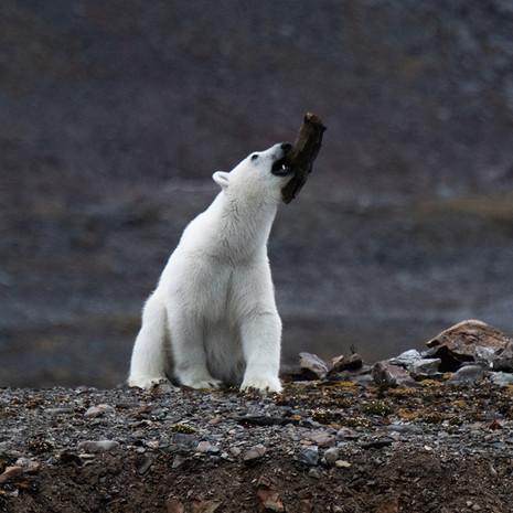 1905 Polar Bear-- Juvenile Juggling--Svalbard