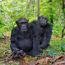 1110 Chimpanzee--Christmas and Orion--Mahale--Tanzania