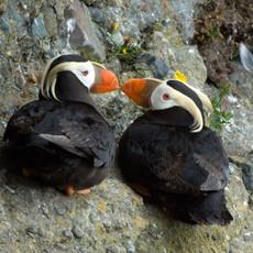 1420 Tufted Puffin--Beaky Kiss--Tatoosh Island--Washington Coast