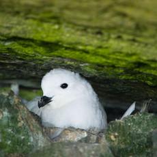 526 Snow Petrel--Browns Point--Antarctica