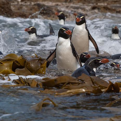 225 Snares Crested Penguin--Snares Islands