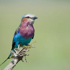 1123 Lilac Roller--Serengetti--Tanzania