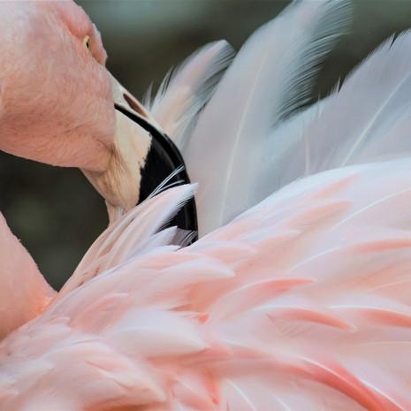 1805 Chilean Flamingo--Westin Hotel--Maui