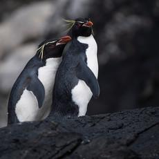 210 Eastern Rockhopper Penguin--Musgrave Harbor--Auckland Island--Cuddle