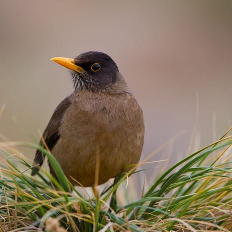 706 Falkland Thrush--Falkland Islands