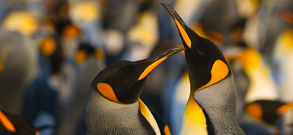 King Penguins--Courtship--Falaklands 150